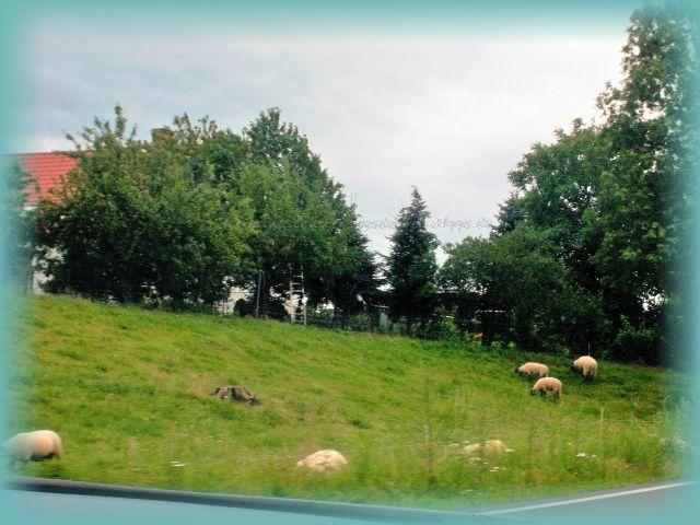 Schafe vor den Toren Dresdens