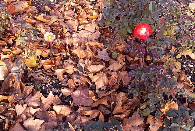 verblühende Rosen Neustädter Park am Ufer der Elbe