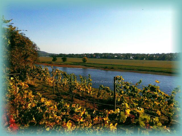 Wein am Elbhang im Schlosspark der drei Elbschlösser