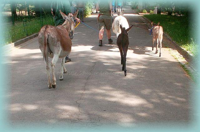 Eselspaziergang im Dresdner Zoo