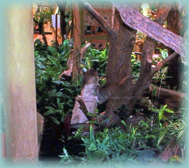 Nachwuchs bei den Faultieren 2020 im Dresdner Zoo