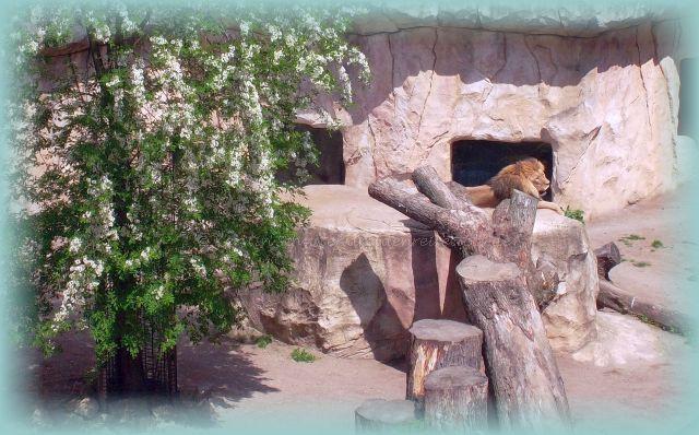 Löwenfreigehege im Tierpark Landeshauptstadt Sachsen