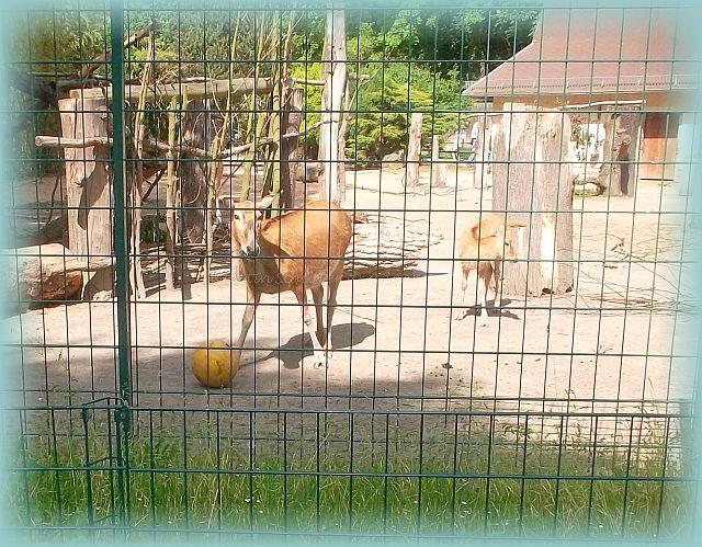 Zootiere spielen Ball im Gehege
