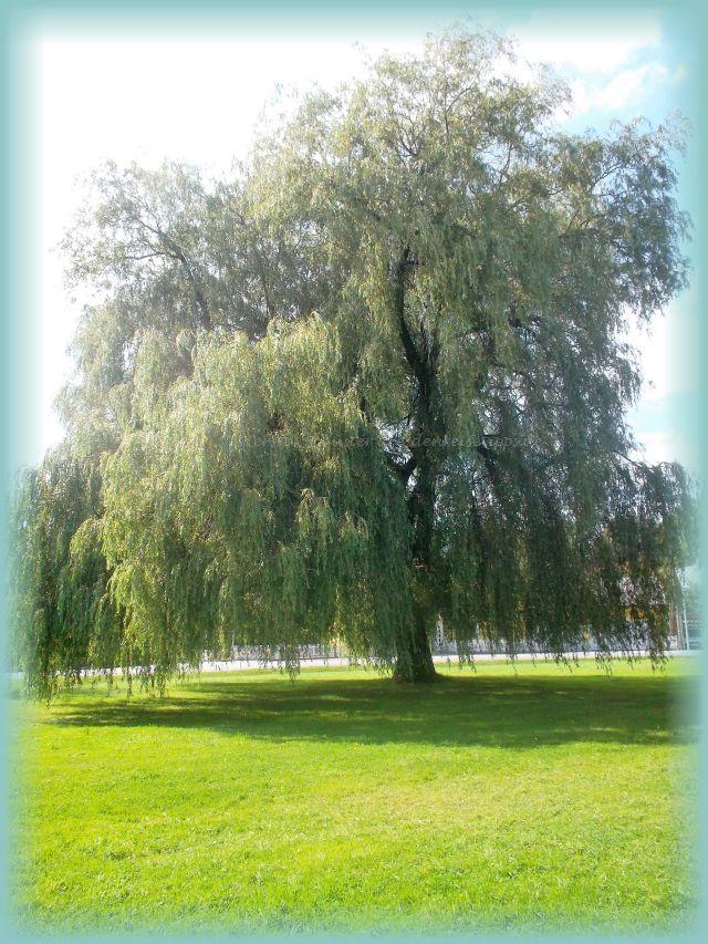 Park mit Weide in Rammenau